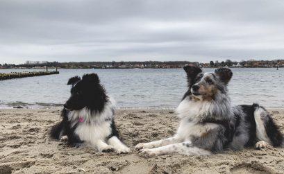 sheltier shetland sheepdog danmark svendborg bedste venner to sheltier splitface bluemerle stranden lets blog some shit jeanette hardis